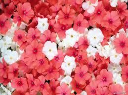 pretty wallpapers for desktop beautiful flower wallpapers for desktop wallpapersafari