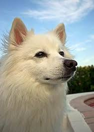 how big is american eskimo dog 96 best american eskimo dog is a lovely dog images on pinterest