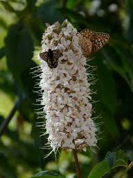 california plants used by california butterflies with