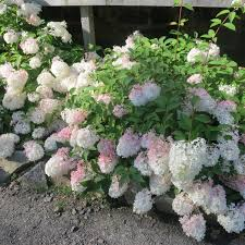 Flowering Shrubs That Like Full Sun - arkansas ornamental shrubs