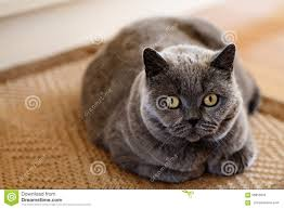 a grumpy british short hair cat stock photo image 58955033
