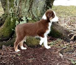 australian shepherd 11 weeks old carousel acres horses u2013 austrailian shepherds u2013 miniatures
