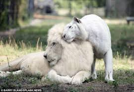white liger cubs are the and last of their