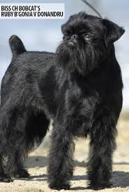 affenpinscher terrier mix brussels griffon grooming bathing and care espree animal products