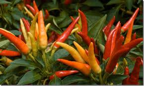can you eat ornamental peppers for sure hellip chile underground