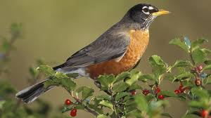 american robin birds wallpapers popular hdq live american robin