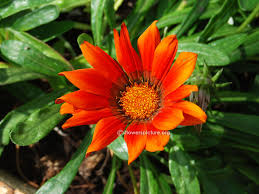 gazania flower varieties