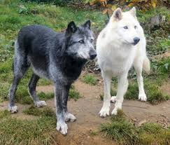 file black and white wolves jpg wikimedia commons