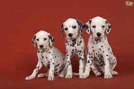 caring dalmatian puppy pets4homes