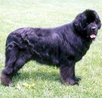Dogs For The Blind Adoption Adopt A Newfoundland Dog Breeds Petfinder