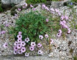 fleurs vivaces rustiques géranium vivace planter et tailler u2013 ooreka