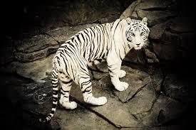 white tiger looking back nils merker flickr