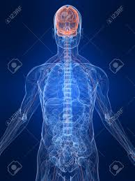 Nervous System Human Anatomy Highlighted Nervous System Stock Photo Picture And Royalty Free