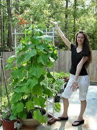 Cucumber Spacing On Trellis Best 25 Cucumber Plant Ideas On Pinterest Pea Ideas Examples