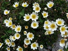 native irish plants dryas octopetala online atlas of the british and irish flora
