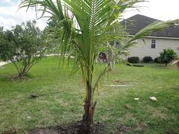 my new coconut palm tree jacksonville fl