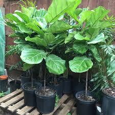 plantsandgifts ficus lyrata ornamental fiddle leaf fig tree