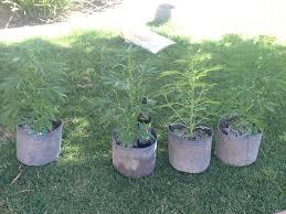 Northern Lights Outdoor Grow Outdoor Autoflower Grow Reversing For Fem Seeds Pics Grow