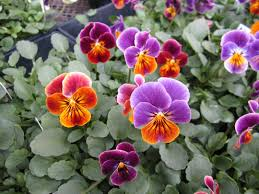 garden design garden design with planting pansies for fall and