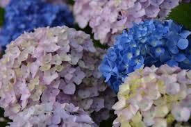 potare le ortensie in vaso ortensie in vaso come potarla e come farla fiorire