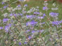 Bluebeard Flower - 7 bluebeard or blue mist shrub caryopteris the daily bloom