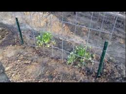 How To Grow Green Beans On A Trellis Planting Green Beans Trellis Garden Youtube