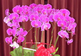 moth orchid flower