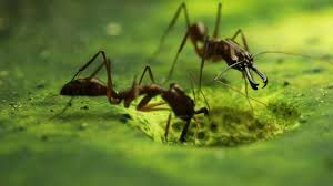 trap jaw ants youtube