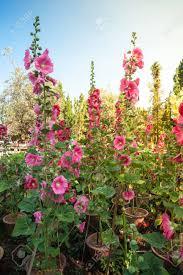 Hollyhock Flowers Malva Alcea Rosea Hollyhock Flowers In A Garden Gorgeous Floral