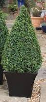 Eugenia Topiary The 25 Best Topiary Plants Ideas On Pinterest Topiaries