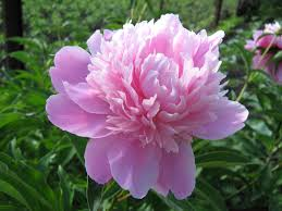 Peony Flower Peony Flower Wallpapers Wallpaper Cave