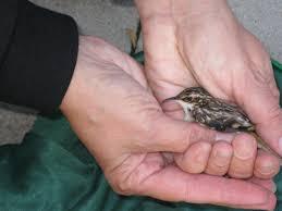 chicago volunteers rescue birds birdnote