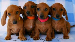 dachshund puppies wallpaper wallpapersafari