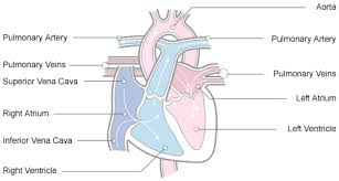 Gross Anatomy Of The Human Heart Anatomy And Physiology Of The Heart Normal Function Of The Heart