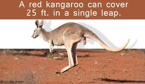 remarkably fascinating facts about red kangaroos