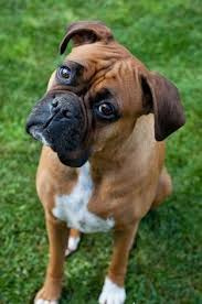 boxer dog in boxing gloves funny because i have a chihuahua and a boxer my boxer is scared