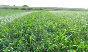 cover crops cropwatch
