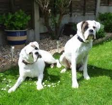 boxer dog european white boxer dogs boxer dog information center