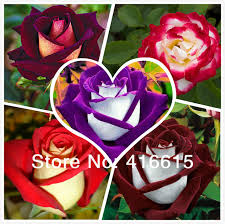 different color roses 250 new seeds 5 different colors osiria
