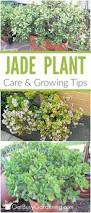 jade plant care tips how to care for a jade plant indoors jade
