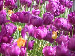 shades of purple and orange tulips family vacation honeymoon