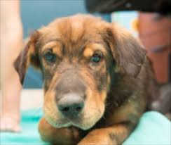 adopt a australian shepherd pet scoop officer may adopt dog he rescued from canal puppies