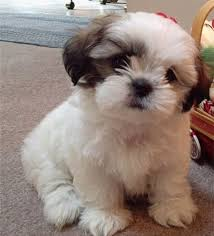 New Dog Owner Checklist Camano Puppy Love Shih Poo love the face trim