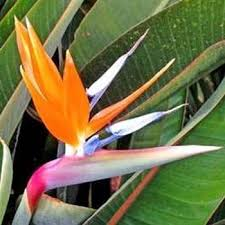 bird of paradise flower outsidepride bird of paradise flower seed 50 seeds