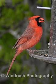 Maryland Birds images Birds maryland usa windrushphotography jpg
