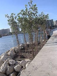 for sale mangroves white mangroves plants seeds and seedlings