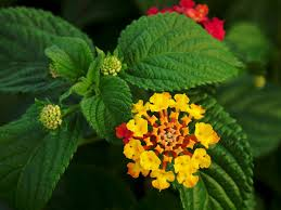 non native plants in florida lantana camara wikipedia