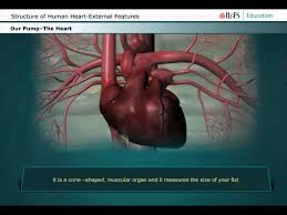 Structure Of Human Anatomy Structure Of Human Heart External Features Youtube