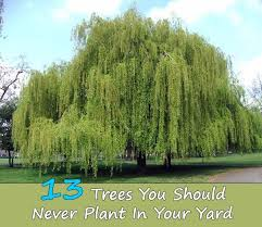 Small Backyard Trees by 113 Best Shrubs And Trees Images On Pinterest Garden Plants