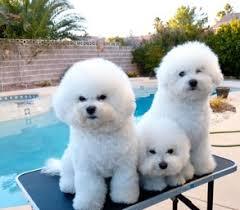 bichon frise intelligence belamour bichons frise puppies nevada